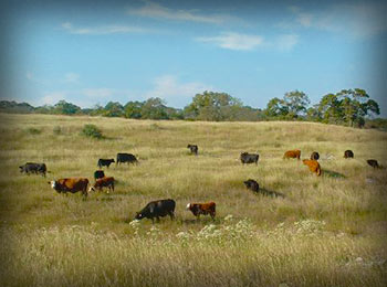 A terrific organic cattle ranch in Fredericksburg, TX