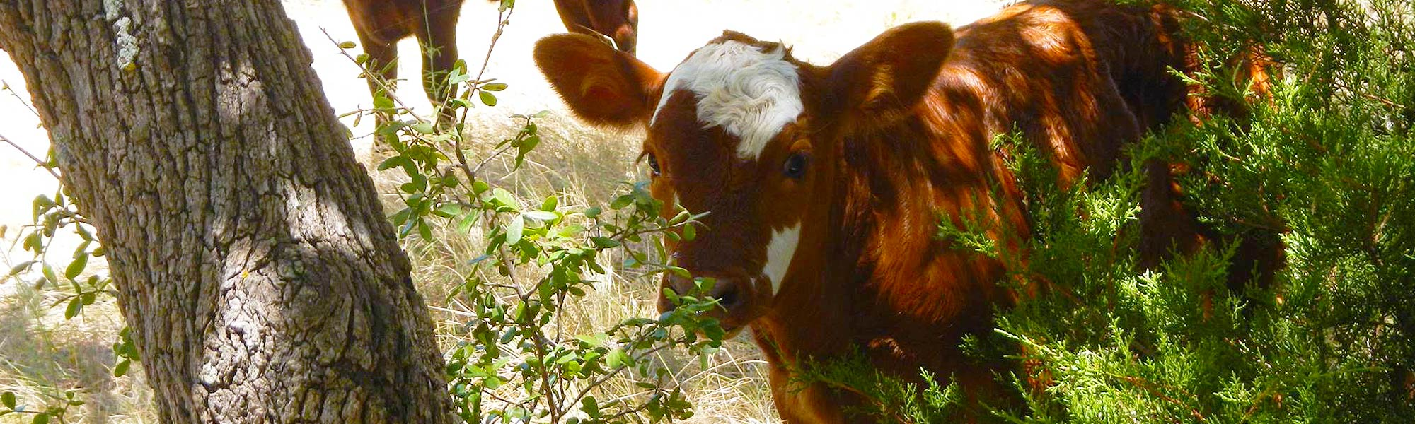 A top-quality organic cattle ranch in Fredericksburg, TX